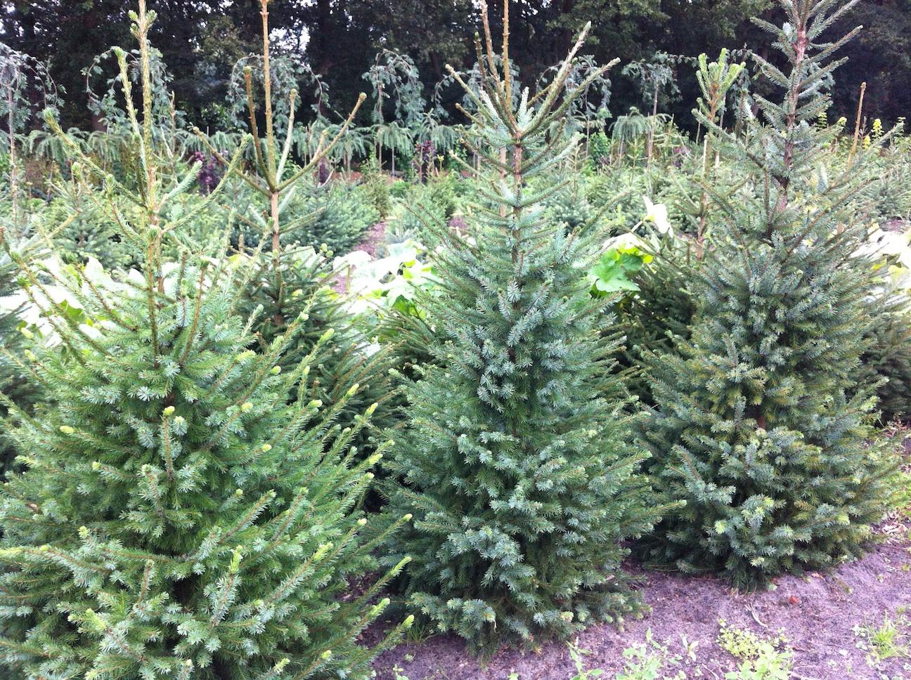 Soorten Kerstbomen Welkom Bij Echtekerstbomen Nl Tiendeveen Dr